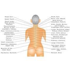 Spine organ correlation vector