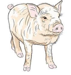 Funny pot-bellied pig vector