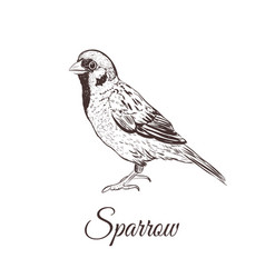 sparrow sketch vector image
