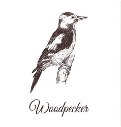 woodpecker sketch vector image vector image
