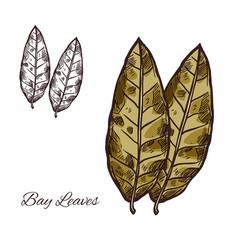 Bay leaf sketch for spice or seasoning design vector
