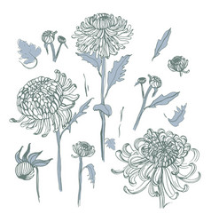 japanese chrysanthemum set collection with hand vector image