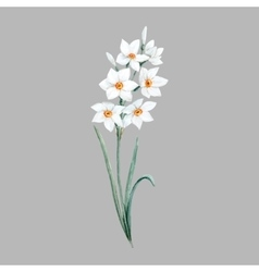 Watercolor small daffodil flower vector image