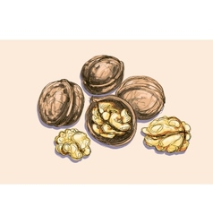 Drawing of a walnuts vector