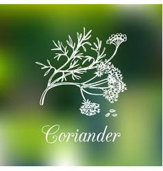 coriander hand drawn vector image