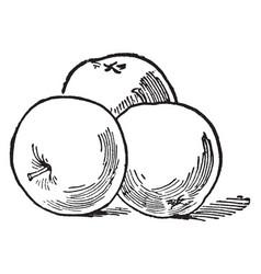 Three apples vintage vector