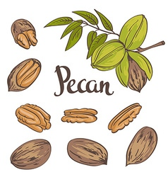 Green pecan nuts with leaves and dried pecan nuts vector