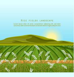 rice fields landscape sunshine background vector image
