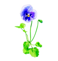 Summer pansy vector