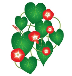 Ipomoea red star flower vector
