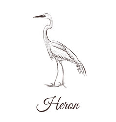 heron is a sketch drawing vector image vector image