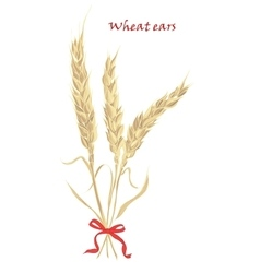 Ears of wheat tied with red bow on white vector
