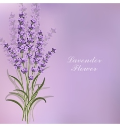 Beautiful lavender flowers on violet background vector image