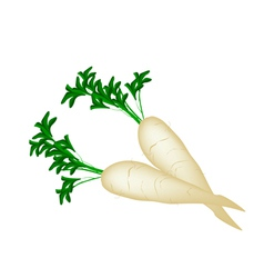 Delicious Fresh Daikon Radish on White Background vector image vector image