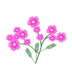 Pink Yarrow Flowers or Achillea Millefolium Flower vector image
