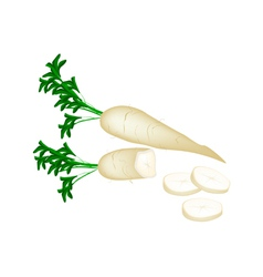 Fresh Daikon Radish on White Background vector image vector image