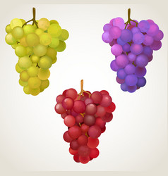 Three cluster of grape vector