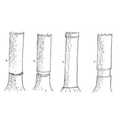 Girdling tree vintage vector