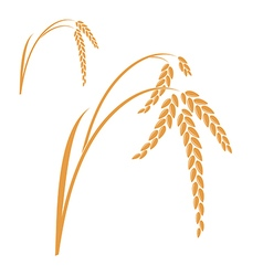 Rice isolated plant on white background vector