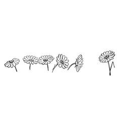 One daisy bellis perennis vintage vector