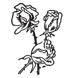 Three rose vintage vector