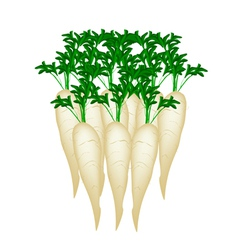 Stack of Daikon Radish on White Background vector image