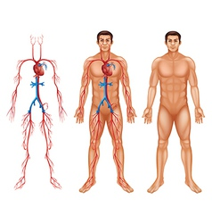Male circulatory system vector image