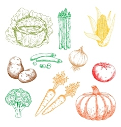 Autumnal organic farm vegetables colored sketches vector