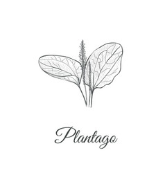 plantago sketch hand drawing plantain vector image