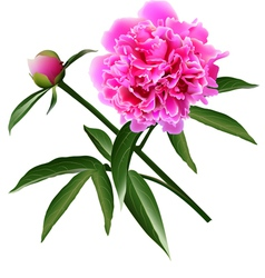 Red realistic paeonia flower with leaves and bud vector