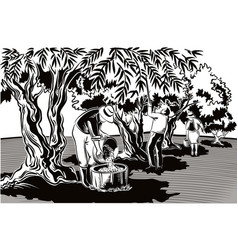 Two men and a woman collect the olives directly vector