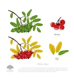 Branch of rowan on a white background vector