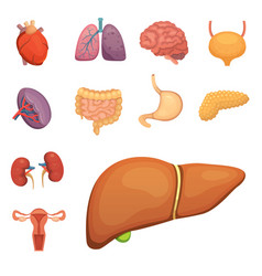 Cartoon human organs set anatomy of body vector