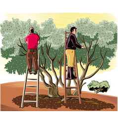 Two men collect the olives directly from the tree vector