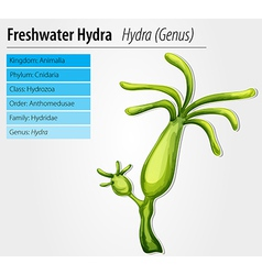 Freshwater hydra vector