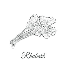 rhubarb sketch hand drawing rhubarb vector image