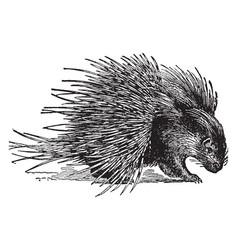 Hystrix crystata porcupine vintage vector