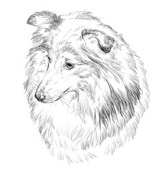 sheltie hand drawing portrait vector image vector image