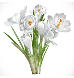 Spring white crocuses on the vine isolated on vector image