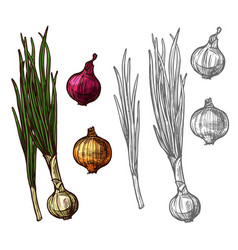 Onion or scallion vegetable with green leaf sketch vector