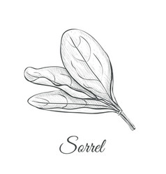 sorrel hand drawing vector image vector image