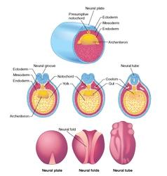 Early embryo development vector