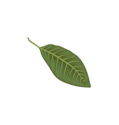 green leaf of frangipani flower vector image vector image