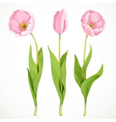Three pink tulips isolated on a white vector image vector image