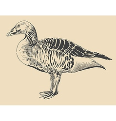 Ink drawing of bird duck anser anser vector