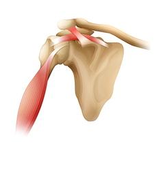 Shoulder bones muscles vector