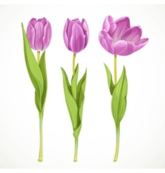 Three purple tulips isolated on a white vector