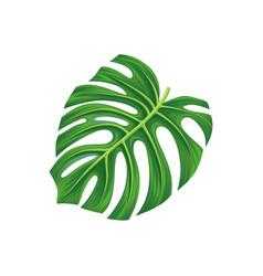 leaf of monstera palm tree exotic plant vector image vector image