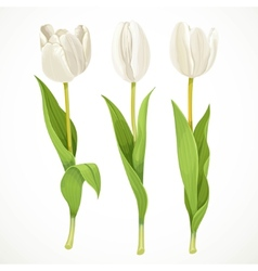 Three white flowers tulips isolated on a vector