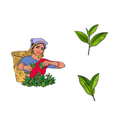 Sketch local woman tea leaves set vector